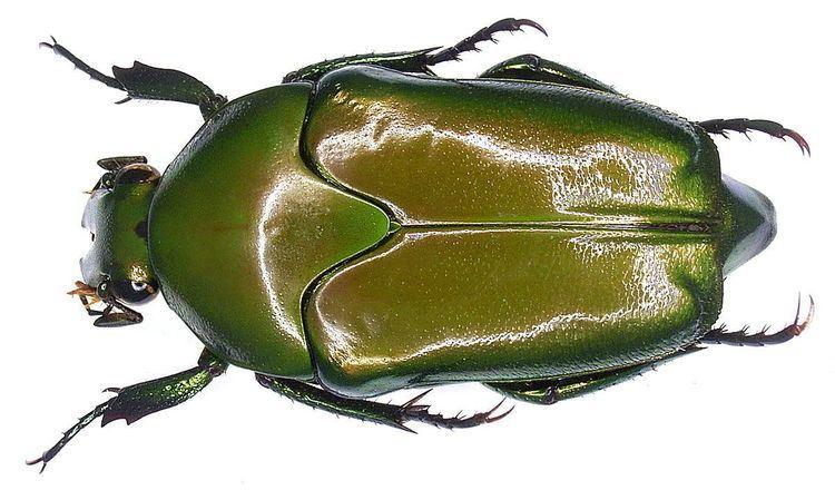 Lomaptera Lomaptera Wikipedia