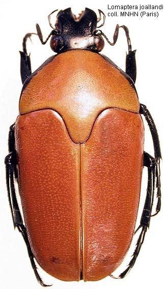 Lomaptera Papua Insects Foundation ColeopteraScarabaeidae
