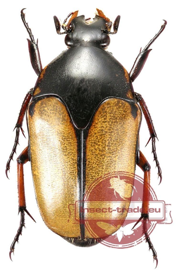 Lomaptera cetoniinae page 14