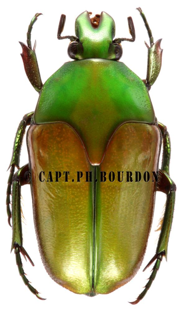 Lomaptera Lomaptera exquisita ColeopteraAtlascom