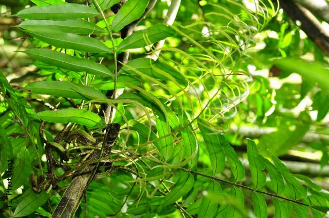 Lomariopsis Ferns of Thailand Laos and Cambodia gt Lomariopsis lineata