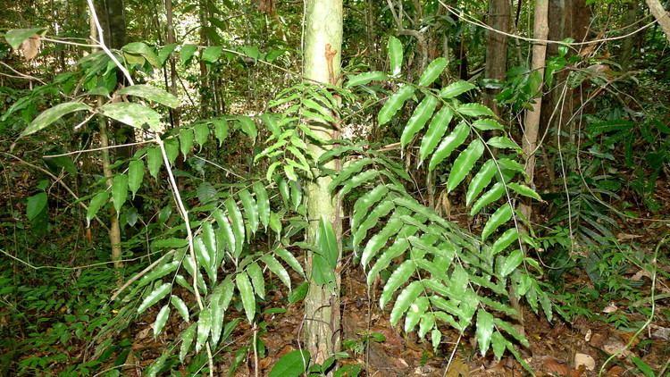 Lomariopsis FileLomariopsis marginata Schrad Kuhn 8288893958jpg
