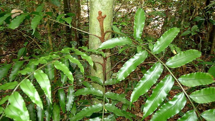 Lomariopsis Lomariopsis marginata Wikipedia