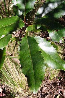 Lomatia arborescens httpsuploadwikimediaorgwikipediacommonsthu