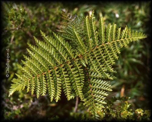 Lomatia ferruginea Lomatia ferruginea Arbustos ChileBosque
