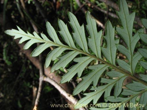 Lomatia ferruginea Description and images of Lomatia ferruginea Fuinque Palmilla a