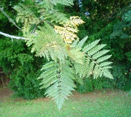 Lomatia ferruginea httpsuploadwikimediaorgwikipediacommons00
