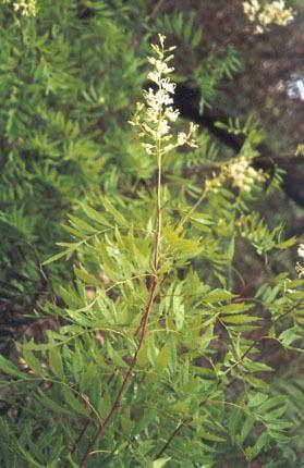 Lomatia silaifolia Crinkle bush Lomatia silaifolia Department of Environment and