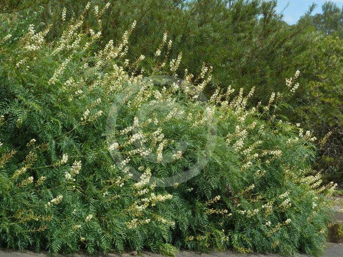 Lomatia silaifolia Lomatia silaifolia Crinkle Bush Parsley Bush Wild Parsley