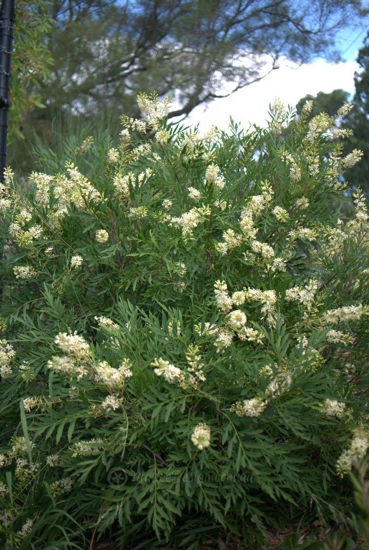 Lomatia silaifolia The Very Loveable Parsley Bush Lomatia silaifolia Mallee Design