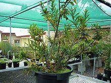 Lomatia tasmanica httpsuploadwikimediaorgwikipediacommonsthu