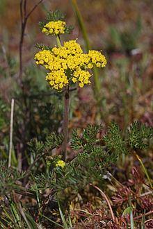 Lomatium httpsuploadwikimediaorgwikipediacommonsthu