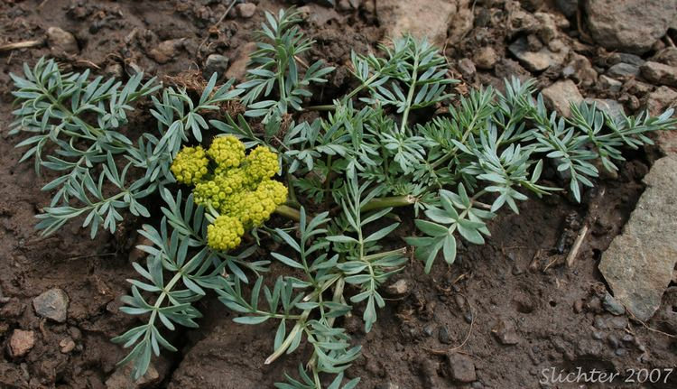 Lomatium Cous Biscuitroot Cousroot Desert Parsley Lomatium cous Synonyms