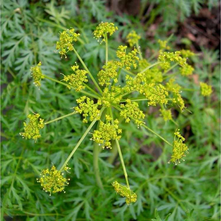 Lomatium Lomatium Lomatium dissectum Wild Rose College of Natural Healing
