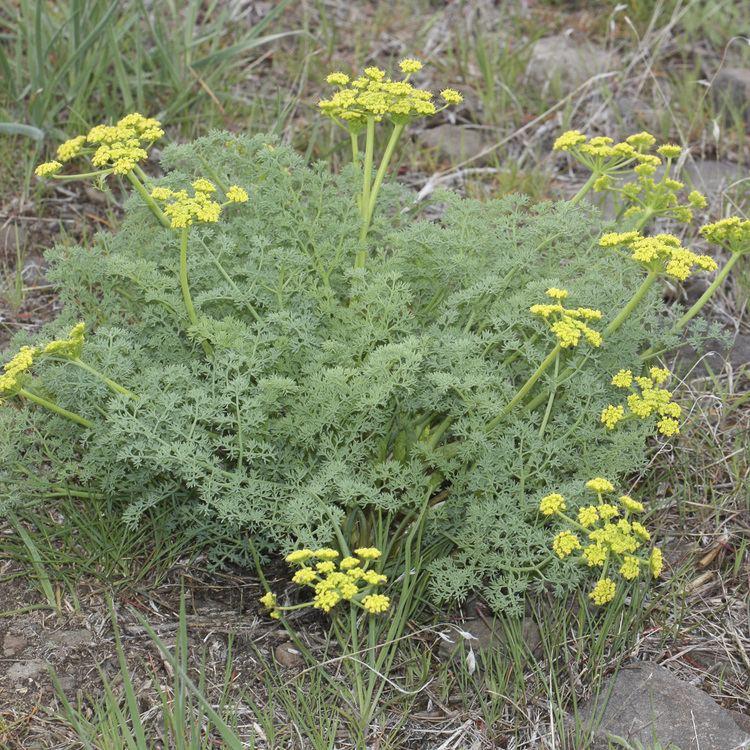 Lomatium Lomatium Lomatium dissectum Village Herbals