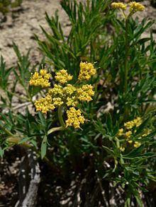 Lomatium brandegeei httpsuploadwikimediaorgwikipediacommonsthu