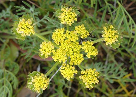 Lomatium Common Lomatium Lomatium utriculatum