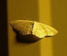 Lomographa glomeraria httpsuploadwikimediaorgwikipediacommonsthu