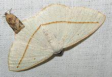 Lomographa inamata httpsuploadwikimediaorgwikipediacommonsthu