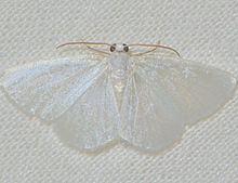 Lomographa vestaliata httpsuploadwikimediaorgwikipediacommonsthu