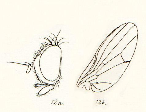 Lonchaeoidea
