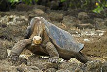 Lonesome George httpsuploadwikimediaorgwikipediacommonsthu