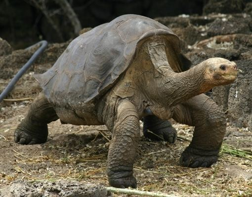 Lonesome George Lonesome George the Late Pinta Giant Tortoise Arrives in New York