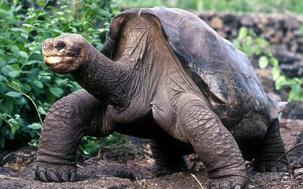 Lonesome George Could Lonesome George 39return39 from extinction Telegraph