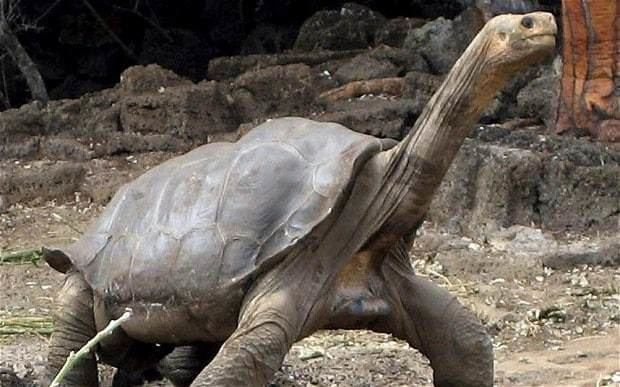 Lonesome George Lonesome George Galapagos tortoise 39was not the last of his kind