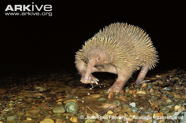Long-beaked echidna Longbeaked echidna videos photos and facts Zaglossus spp ARKive