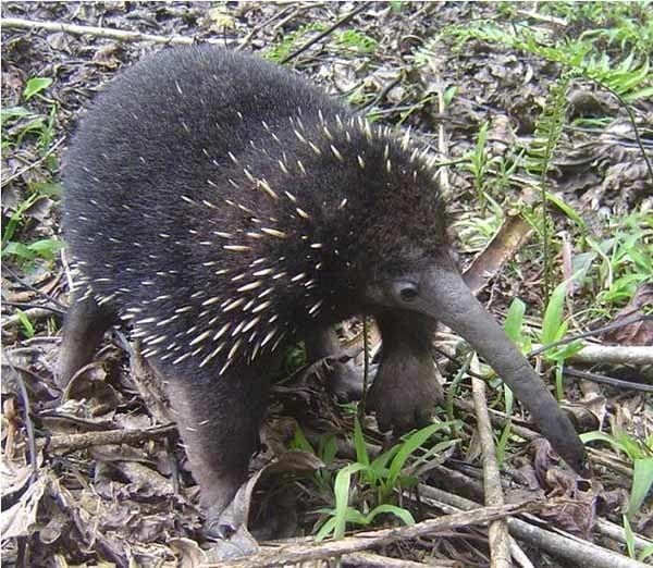 Long-beaked echidna Reproductive ecology of the eastern longbeaked echidna Zaglossus