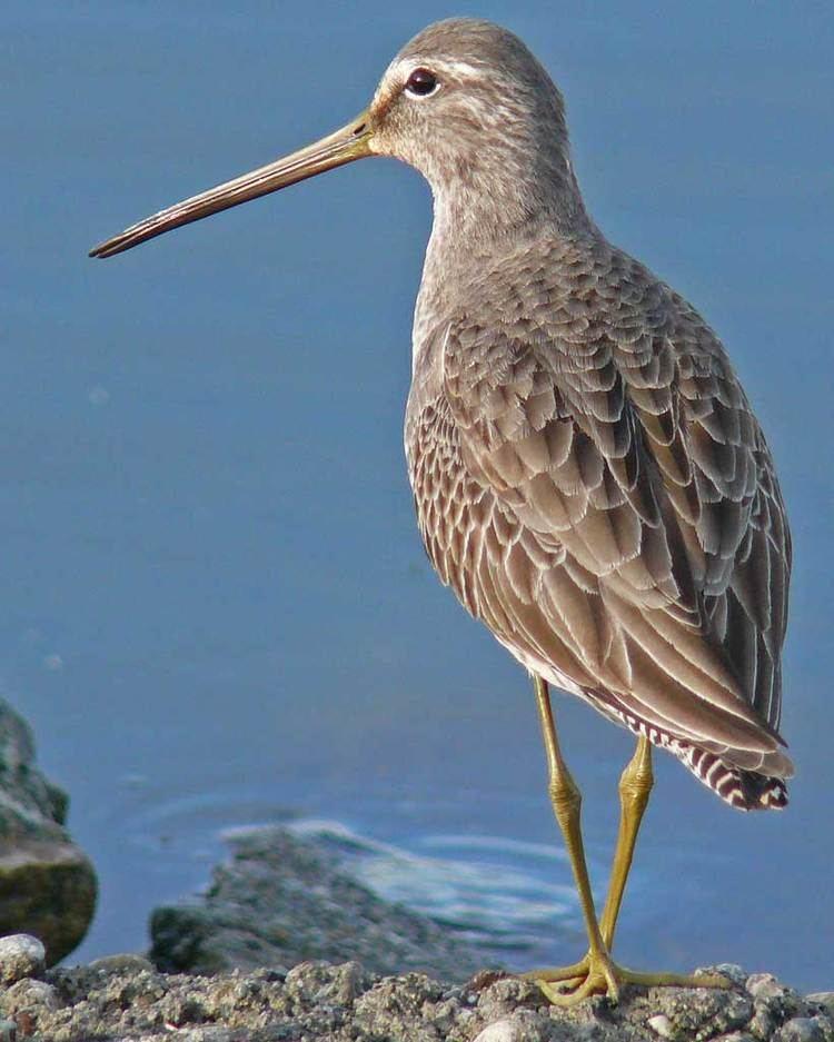 Long-billed dowitcher Longbilled Dowitcher Audubon Field Guide