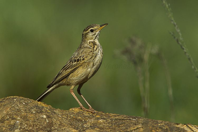 Long-billed pipit FileLongbilled Pipit Natal South Africa S4E6593 16378617574