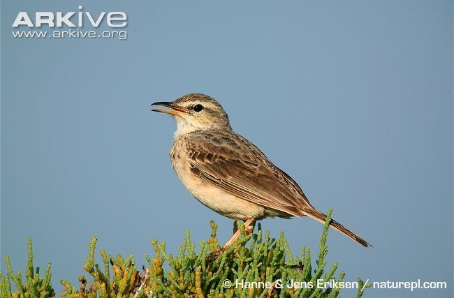 Long-billed pipit Longbilled pipit videos photos and facts Anthus similis ARKive