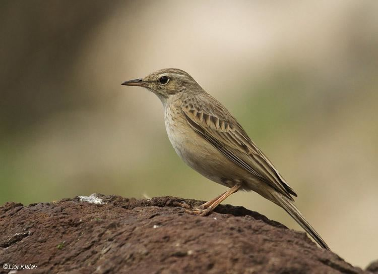 Long-billed pipit Longbilled Pipit Anthus similis videos photos and sound