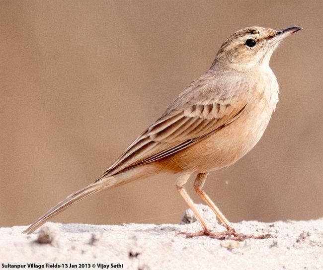 Long-billed pipit Oriental Bird Club Image Database Longbilled Pipit Anthus similis