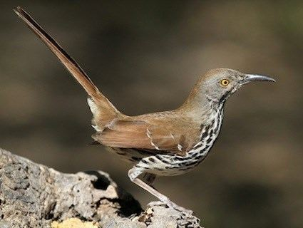 Long-billed thrasher Longbilled Thrasher Identification All About Birds Cornell Lab
