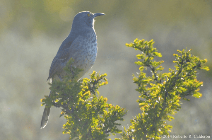 Long-billed thrasher The Longbilled Thrasher Is a Native Songbird Exclusive to South