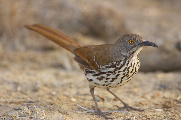 Long-billed thrasher Longbilled Thrasher Photos Smithsonian Migratory Bird Center