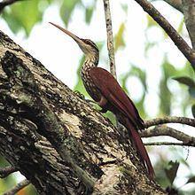 Long-billed woodcreeper httpsuploadwikimediaorgwikipediacommonsthu