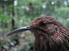 Long-billed wren-babbler httpsuploadwikimediaorgwikipediacommonsthu