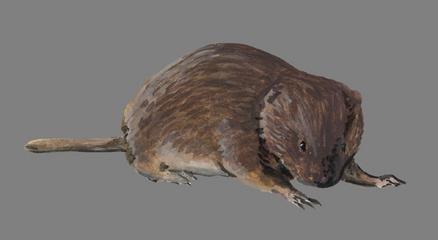 Long-clawed mole vole wwwplanetmammiferesorgPhotosRongeurMyomoArv