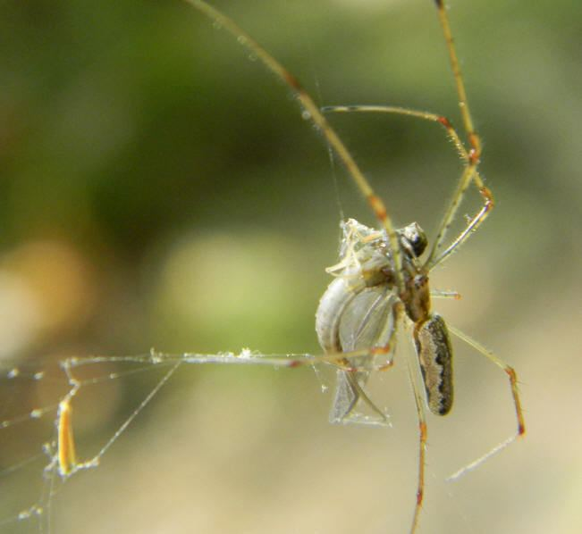 Long-jawed orb weaver Spiders at Spiderzrule the best site in the world about spiders