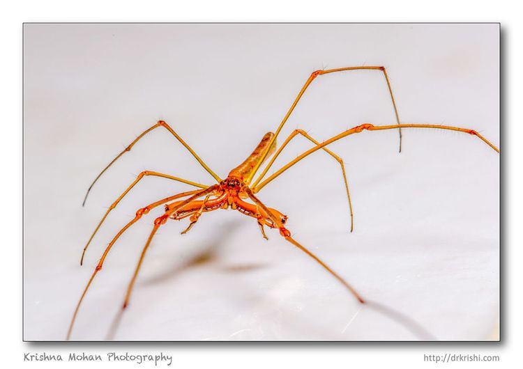 Long-jawed orb weaver LongJawed Orb Weaver Tetragnatha spider Krishna Mohan Photography