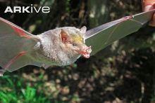 Long-snouted bat cdn2arkiveorgmediaEAEABE3600FABF488D88C23