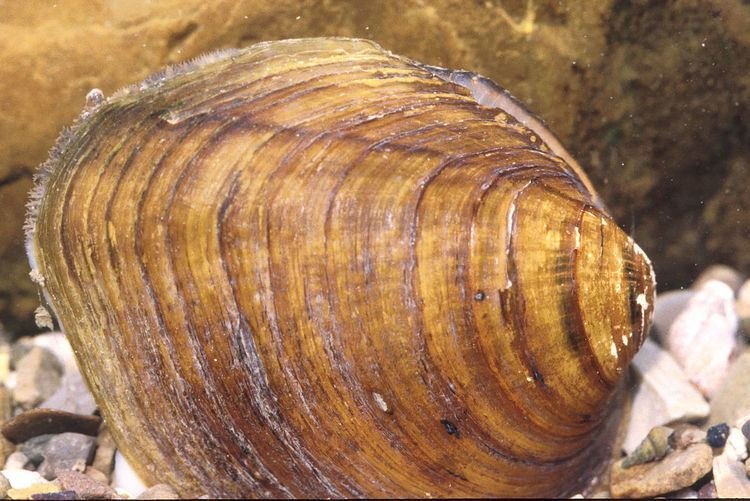 Long solid mussel