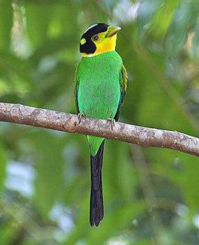 Long-tailed broadbill Longtailed Broadbill Psarisomus dalhousiae Thailand39s eigth most