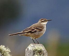 Long-tailed cinclodes httpsuploadwikimediaorgwikipediacommonsthu