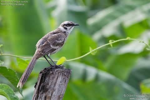 Long-tailed mockingbird More on Mimus longicaudatus Longtailed Mockingbird