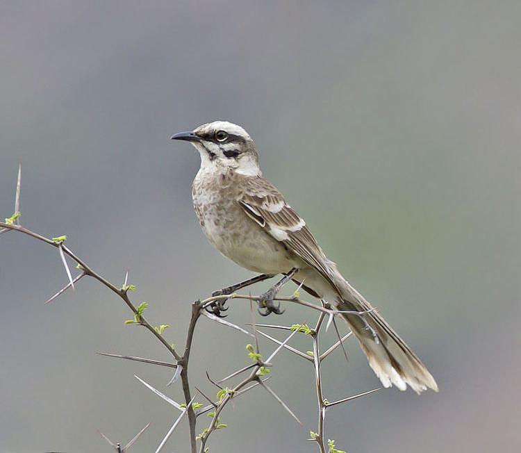 Long-tailed mockingbird Longtailed Mockingbird AZ Birds